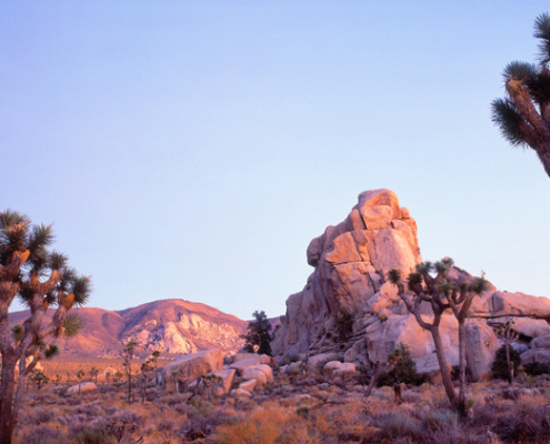 The soft afterglow of a desert twilight casts a warm, gentle veil over the Joshua Tree landscape. Images of America.